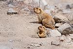 Himalayan marmots (Marmota himalayana) outside their burrow. Ladakh, northern India.