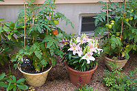 Container garden with tomato vegetables, lilies lilium flowers next to house for simple edible landscaping