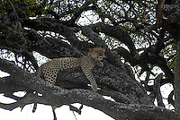 TANZANIA Serengeti Nationalpark near Arusha , Leopard on tree / TANSANIA Serengeti Nationalpark bei Arusha , leopard auf einem Baum