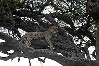 TANZANIA Serengeti Nationalpark near Arusha , Leopard on tree / TANSANIA Serengeti Nationalpark bei Arusha , leopard auf einem Baum