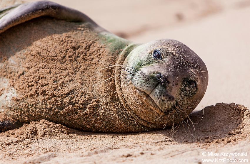 Hawaiian monk seal sun bathing on the beach, Gillin's Beach, south shore of Kauai