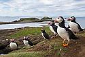 Atlantic Puffin colony (Fratercula arctica) next to burrows on sea cliff, Isle of Lunga, Treshnish Isles, Scotland, June.