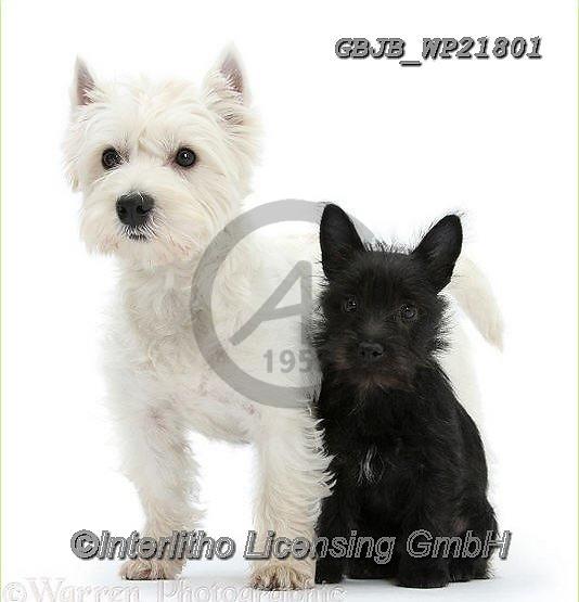 Kim, CHRISTMAS ANIMALS, WEIHNACHTEN TIERE, NAVIDAD ANIMALES, fondless, photos+++++,GBJBWP21801,#xa#