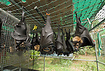 Tolga Bat Hospital -Spectacled Flying Fox orphans(Pteropus conspicillatus)
