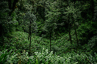 A black cardamom (Thao Qua) plantation deep in the jungle. The plants grow below the forest canopy near streams. Farmers plant and cultivate crops near these streams where the plants flourish best.
