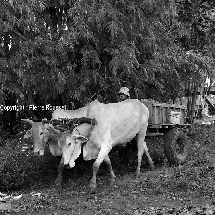 Cows  on Kaoh Trong<br /> island near Kratie, Cambodia,<br /> October 2020.