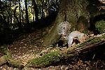 Eastern Gray Squirrel (Sciurus carolinensis) digging for food in deciduous forest, Wytham Woods, England, United Kingdom