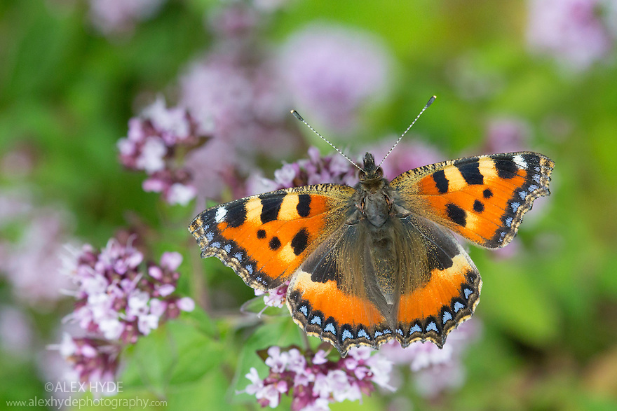 Small tortoiseshell butterfly {Aglais urticae} feeding on Marjoram (Origanum vulgare). Peak District National Park, Derbyshire, UK. July.