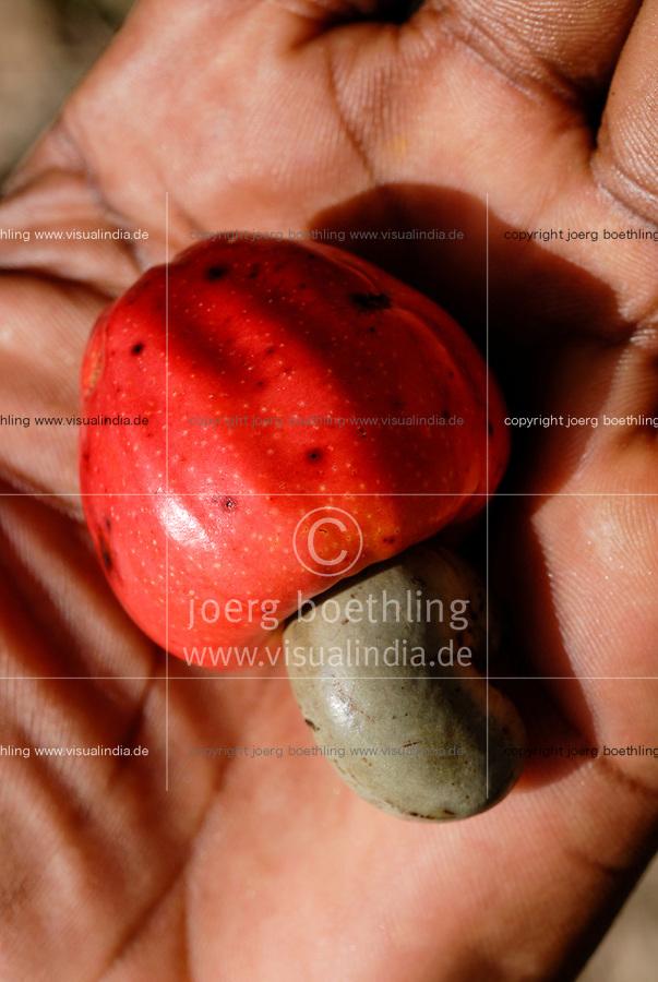 BURKINA FASO, Gao, cashew nut farming, cashew fruit wit nut / Anbau von Kaschunuessen, Kaschufrucht mit Nuss