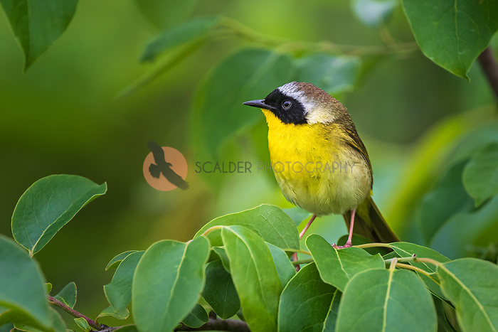 Male Common Yellowthroat perched in tree surrounded by green leaves