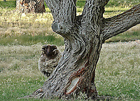 Ram with curled horns peeks out from behind a gnarled cottonwood tree.