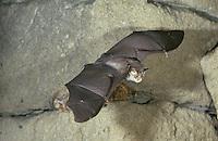 Kleine Hufeisennase, im Flug, Kleinhufeisennase, Fledermaus, Rhinolophus hipposideros, lesser horseshoe bat