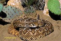 1R15-044z  Western Diamondback Rattlesnake - Crotalus atrox - Southwestern desert