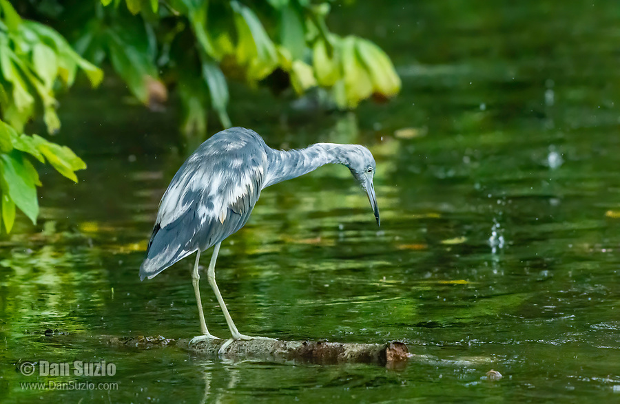 Juvenile Little Blue Heron, Egretta caerulea, hunting in the Tortuguero River (Rio Tortuguero) in Tortuguero National Park, Costa Rica