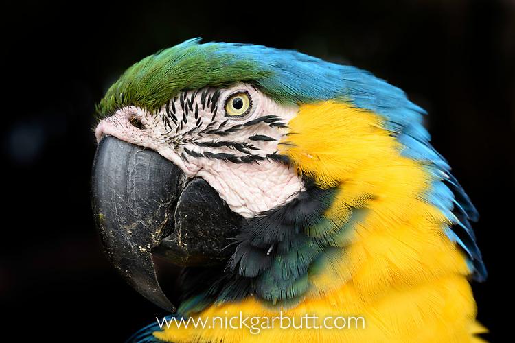 Portrait of a blue-and-yellow macaw (Ara ararauna). Northern Pantanal, Mato Grosso, Brazil.