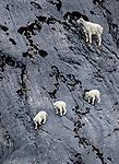USA, Alaska, Glacier Bay National Park, mountain goat (Oreamnos americanus)
