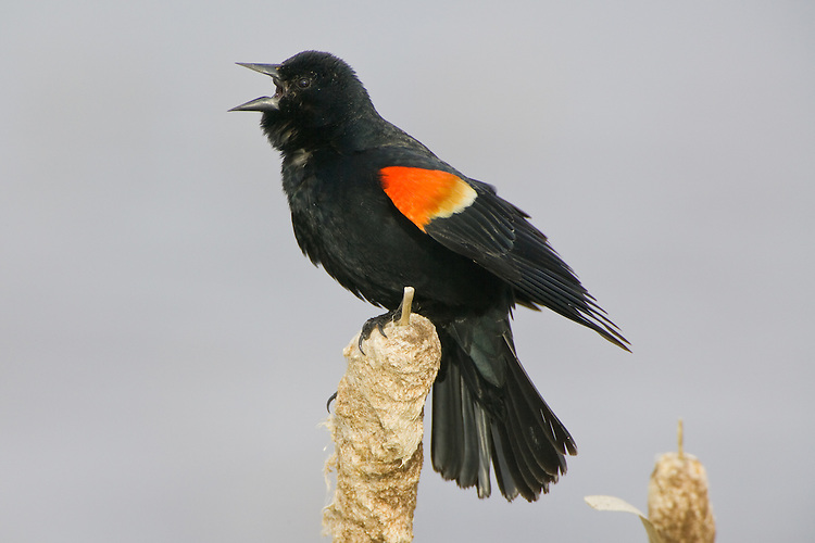 Red-winged Blackbird singing from the top of an old bullrush