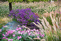 Aster novae-angliae 'Purple Dome'  autumn flowering perennial in midwest meadow fall garden with roses and Fountain Grass, Pennisetum alopecuroides