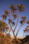 T-054 Doum Palm in Evrona
