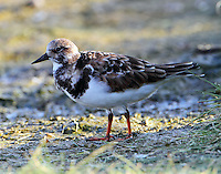 Ruddy turnstone in nonbreeding plumage, Oct 3