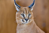 Nine month old African Desert Lynx. West Coast Game Park. Oregon