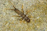 Steinfliege, Larve, Nymphe, Dinocras cephalotes, stonefly, larva, larvae