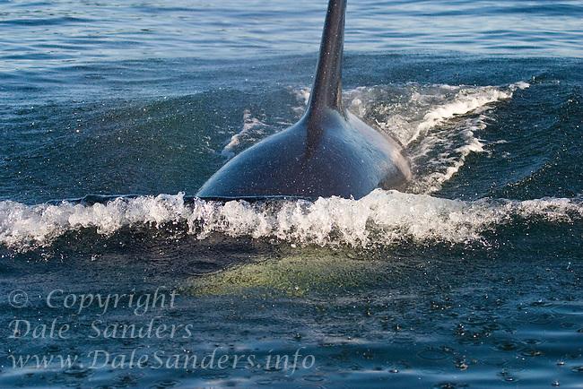 Killer Whale (Orcinus orca)  surfaces in Juan de Fuca Strait off Vancouver Island, British Columbia, Canada.