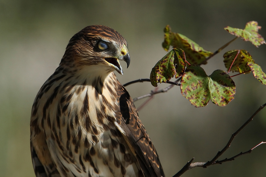 The eyelids of a bird are not used in blinking. Instead the eye is lubricated by the nictitating membrane, a third concealed eyelid that sweeps horizontally across the eye like a windscreen wiper, as seen here. (Juvenile Cooper's Hawk).