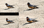 Barn Swallow LA River Southern California Composite Image