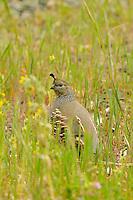 Female California Quail (Callipepla californica), also known as the California Valley Quail or Valley Quail.
