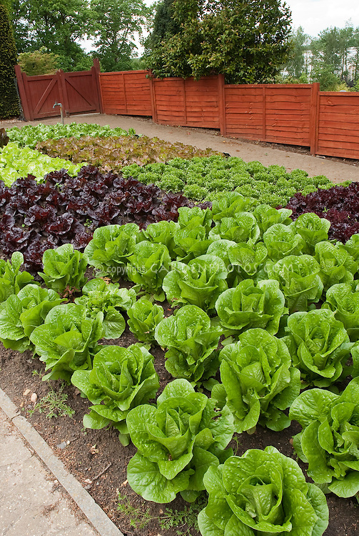 Red lettuce, green lettuces, romaine lettuce, heads of lettuce in fenced vegetable garden, in rows growing, wide view of many salad plants, with red fence, garden spigot hosepipe, tidy neat rows, romaine, cos, etc