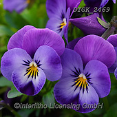 Gisela, FLOWERS, BLUMEN, FLORES, photos+++++,DTGK2469,#f#, EVERYDAY