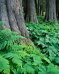 Clearwater National Forest, ID<br /> Bracken ferns, palmate coltsfoot, and wood sorrel are nestled around the cedar trunks in Devoto Memorial Cedar Grove