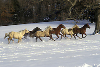 Quarter horses running through snow near trees