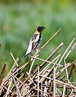 Adult male bobolink in breeding plumage