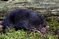 MB01-104z  Star-nosed Mole - adult searching for food - Condylura cristata