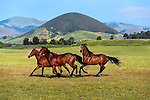 Horses running on the Central Coast of Caifornia