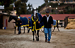 DEL MAR, CA - NOVEMBER 01: Horses walk to the bathes after morning work outs at Del Mar Thoroughbred Club on November 1, 2017 in Del Mar, California. (Photo by Scott Serio/Eclipse Sportswire/Breeders Cup)