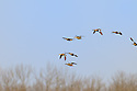 00315-063.18 Blue-winged Teal flock in flight over trees.  Fly, waterfowl, hunt, action.