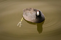 An American coot, floating in the pond at a neighborhood park, stares directly into the camera with its distictive red eyes straddling its equally distinctive white beak.  Below the surface the lobed  toes of one foot are visible.