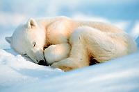 polar bear, Ursus maritimus, sleeping in the snow, Spitzbergen, Norway