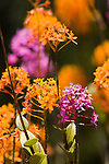 EPIDENDRUM ORCHID HYBRIDS