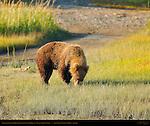 Alaskan Coastal Brown Bear eating Sedge Grass, Silver Salmon Creek, Lake Clark National Park, Alaska