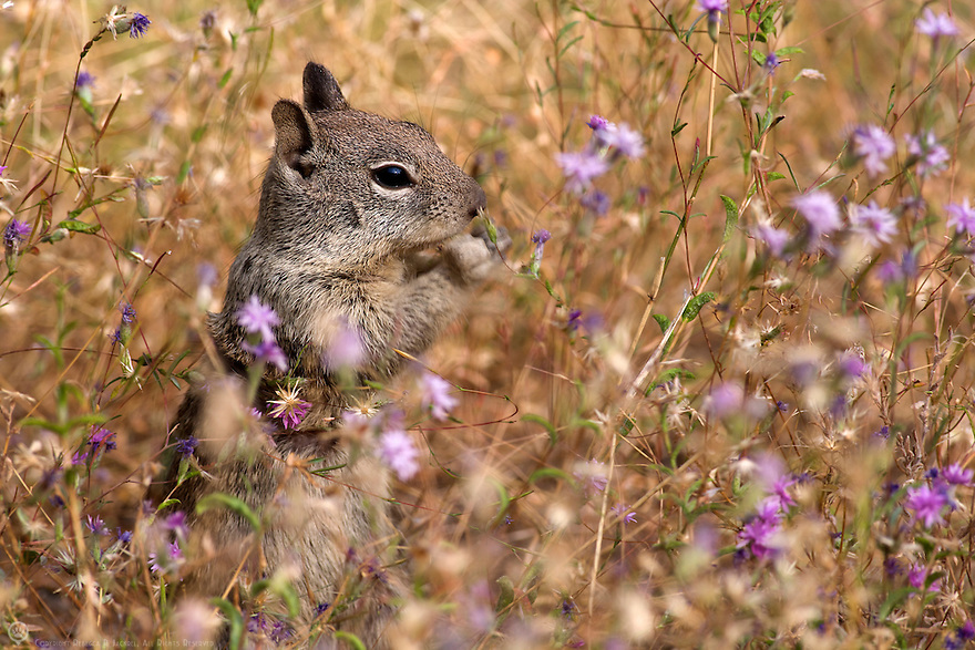 A Belding's ground squirrel munches on flowers in a meadow in Yosemite.