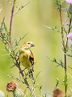 Female American Goldfinch perched on Thistle