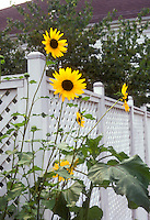 Sunflowers in white-fenced garden Helianthus annuus, house, branching tall tuype