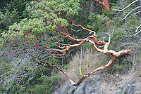 Pacific Madrone (Arbutus menziesii), Orcas Island, San Juan Islands, Washington, US