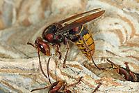 Hornisse, Hornissen, Nest, Hornissennest, Vespa crabro, hornet, hornets, brown hornet, European hornet, nest, hornets' nest, Le frelon européen