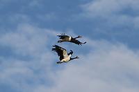 Magpie Geese in Flight Over Yellow Waters in Kakadu, Northern Territory, Australia