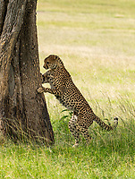 A Cheetah, Acinonyx jubatus jubatus, sniffs a tree trunk after marking its territory in Maasai Mara National Reserve, Kenya